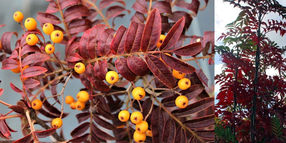 Sorbus 'Autumn Spire' Berries yellow and Tree form