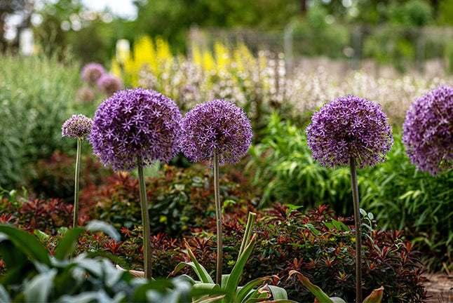 Allium Flowers In-Excess Unsplash Spring Flower