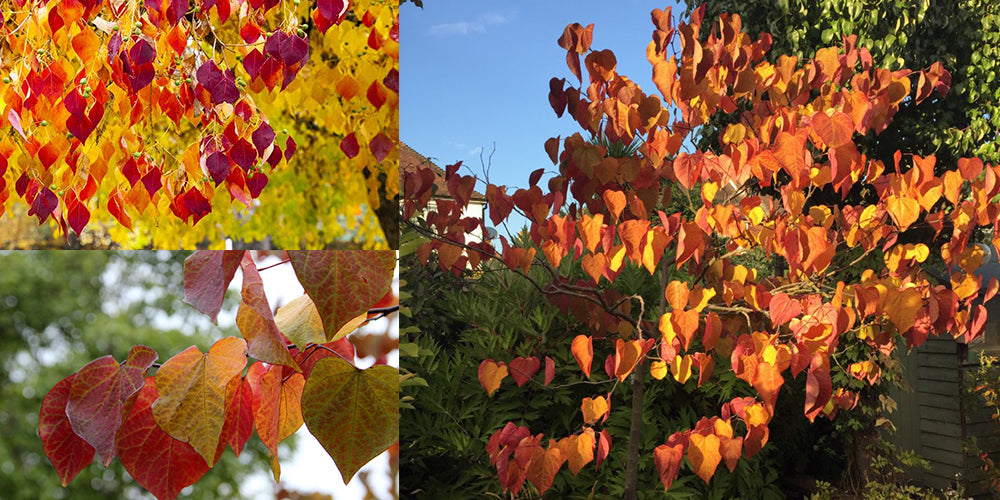 Cercis Forest Pansy Autumn October Red Leaves and tree