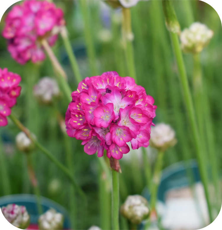 Armeria Abbey Deep Rose