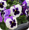 Pansy White Purple Wing - 6 Pack