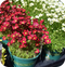 Saxifraga Touran Deep Red