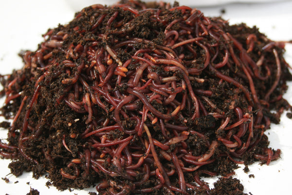 1000 Composting Worms