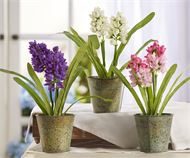 Floral Potted Hyacinth In Iron Pot