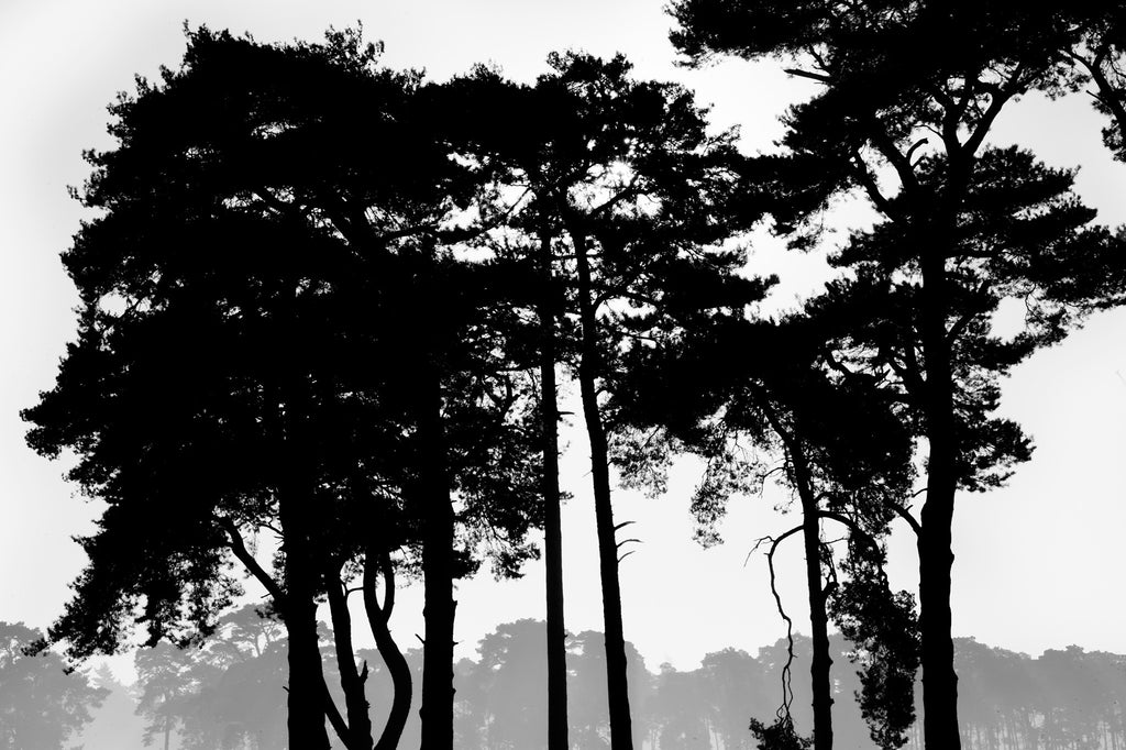 Silhouetted Trees, Norfolk