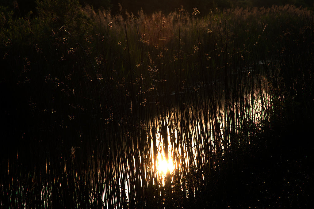 Reeds and Sunset, Fenland, Photograph