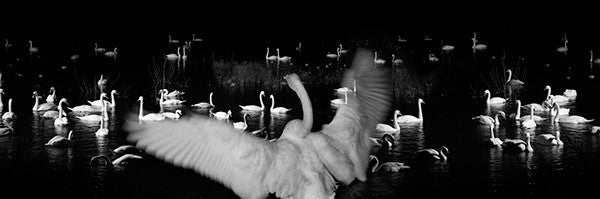 Fen Swans, Welney, Ely Black and White Photograph