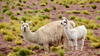 Alpaca: Saving the world just got a whole lot cuter