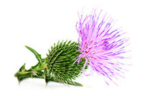 Organic Blessed Thistle Herb