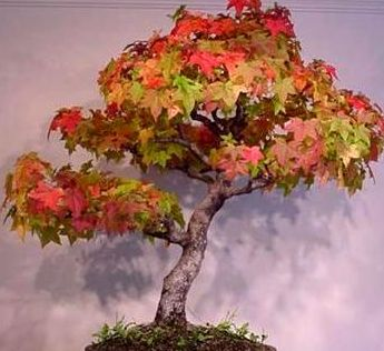 Acer Rubrum Is A Tree Native In Eastern North America It Is Well