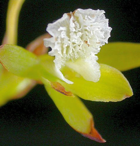 Acrolophia capensis - orchids - 100 seeds