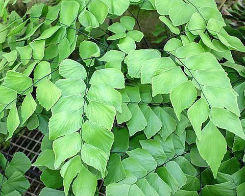 Adiantum trapeziforme - giant maidenhair fern - diamond maidenhair fern - 100 seeds