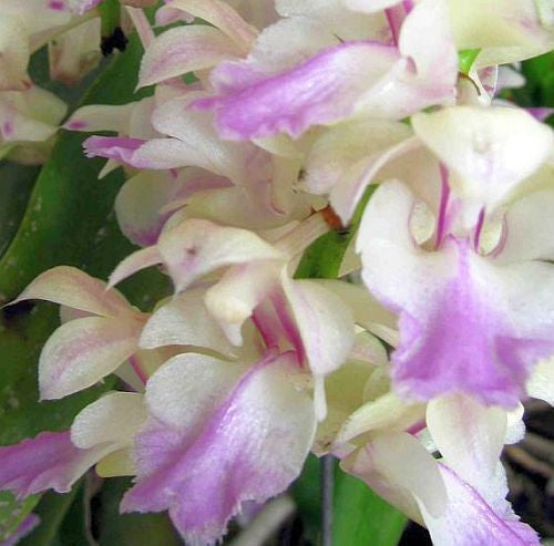 Aerides falcata - Orchid rose - 100 seeds