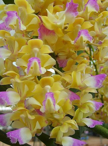 Aerides houlettiana - Orchid rose - 100 seeds