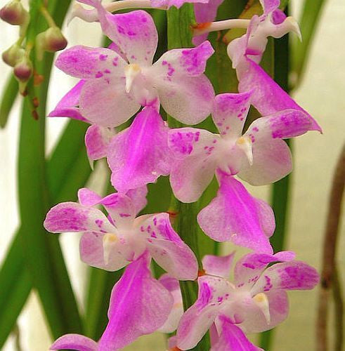 Aerides rosea - Orchid rose - 100 seeds