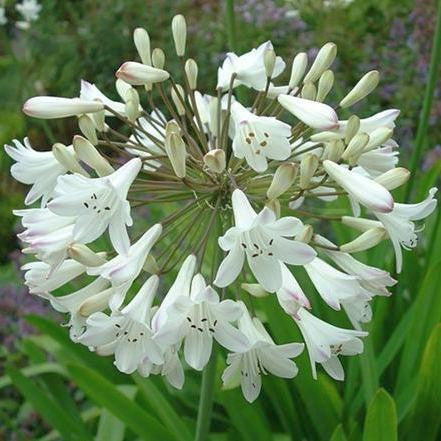 Agapanthus praecox ssp orientalis tall white - African lily - common agapanthus - lily of the Nile - 10 seeds