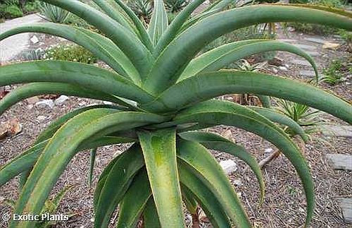 Aloe thraskii - Coast Aloe - 10 seeds