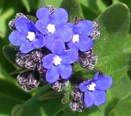 Anchusa capensis - Cape-forget-me-not - 15 seeds
