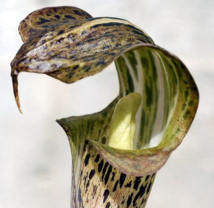 Arisaema nepenthoides - Jack-in-the-Pulpit