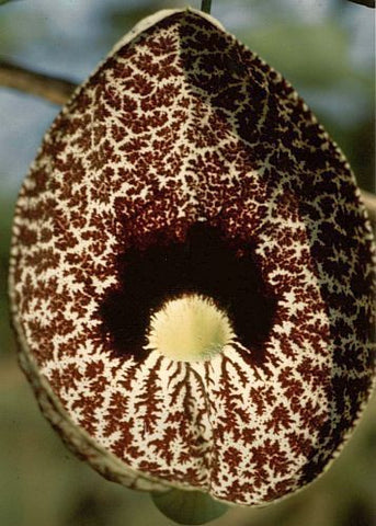 Aristolochia elegans - Calico flower - Dutchmans pipe