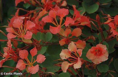 Bauhinia galpinii - red orchid tree - 10 seeds