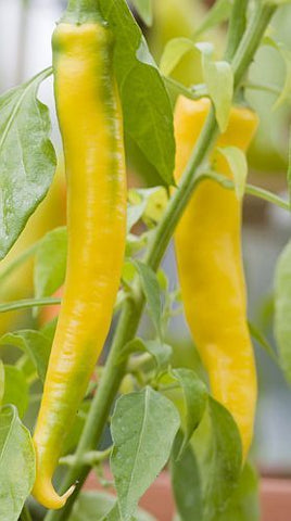Chili Golden Cayenne - hot pepper - 20 seeds