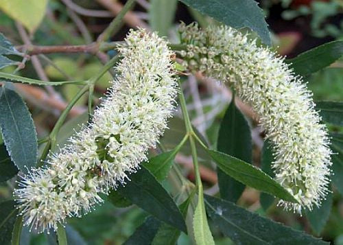 Cunonia capensis - butterspoon tree - 10 seeds