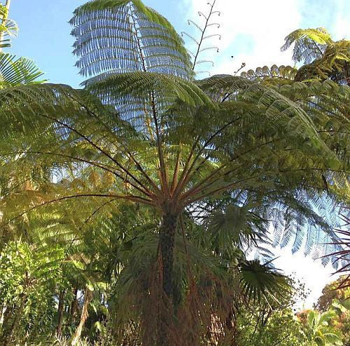 Cyathea contaminans - blue tree fern - 100 seeds