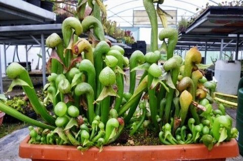 Darlingtonia californica - cobra lily - California pitcher plant - 5 seeds