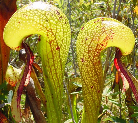 Darlingtonia californica Sandlake - Kobralilie - 3 seeds