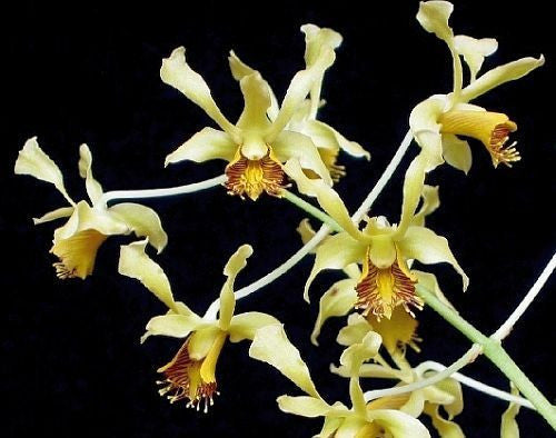 Dendrobium delacourii - orchids - 100 seeds