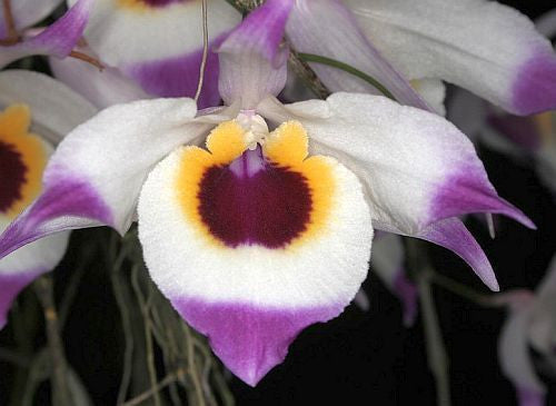 Dendrobium falconeri - orchids - 100 seeds