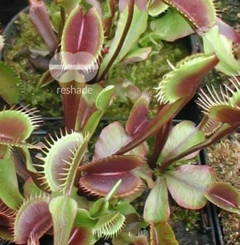 Dionaea mix - venus fly trap - 10 seeds