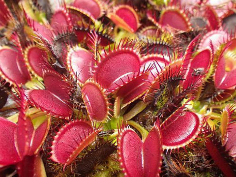Dionaea muscipula Big Mouth - venus fly trap - 5 seeds
