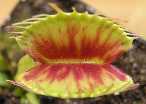 Dionaea muscipula Patches - venus fly trap - 3 seeds
