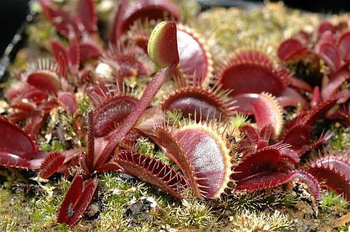 Dionaea muscipula Petite Dragon - venus fly trap - 5 seeds