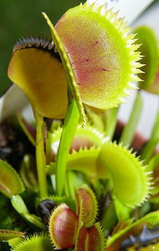Dionaea muscipula UK sawtooth number1 - venus fly trap - 5 seeds