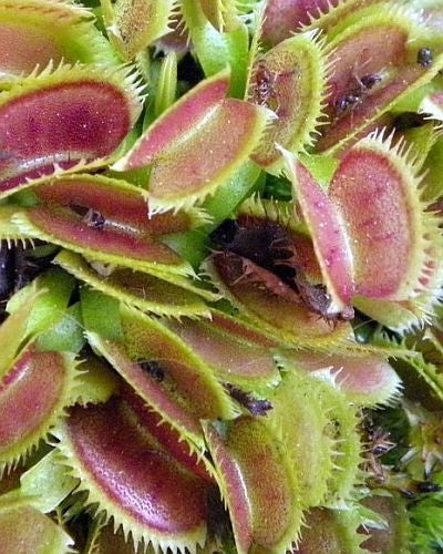 Dionaea muscipula UK sawtooth number2 - venus fly trap - 5 seeds
