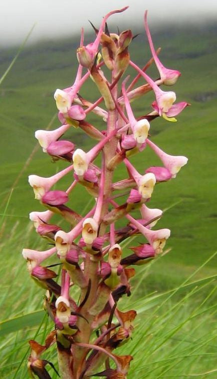 Disa cooperi - orchid - 20 seeds