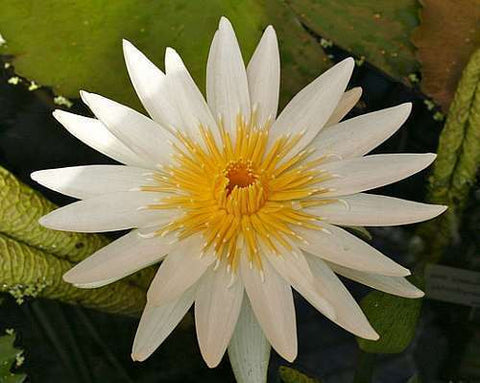Nymphaea ampla - white water lily - Apepe - Lolha - 15 seeds