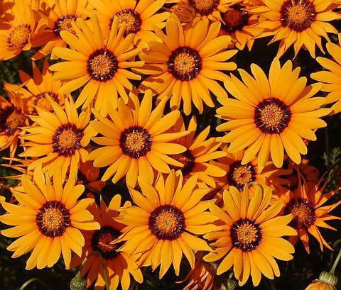 Ursinia anthemoides - common parachute-daisy - 10 seeds