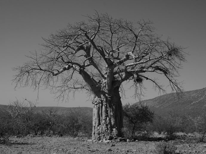 The Baobab of the Regiment