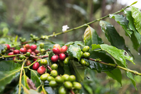 coffee plant in Takengon, Indonesia