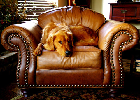pexels-photo-labrador-golden retriever-couch-armrest-chair-classic-classical-furniture
