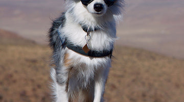 Cruiser: Mini Australian Shepherd