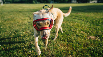 Questions about your Dog's Eye Health, Answered