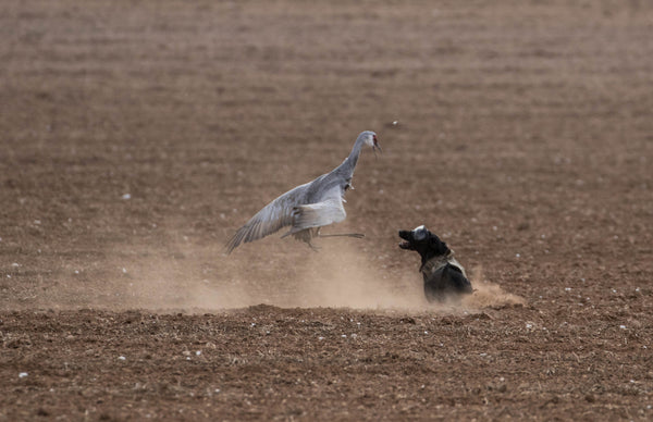 Black lab squares off to a Sandhill Crane in the field.