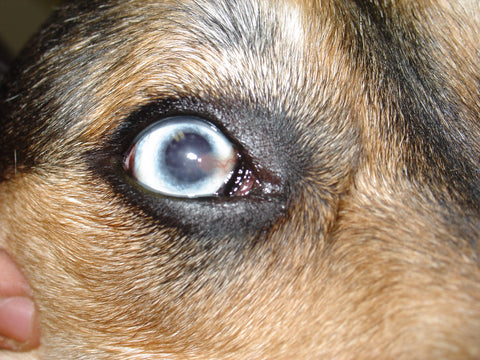 Can You Treat Cataracts In Dogs