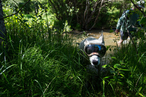 Dog running out of creek wearing Rex Specs Dog Goggles