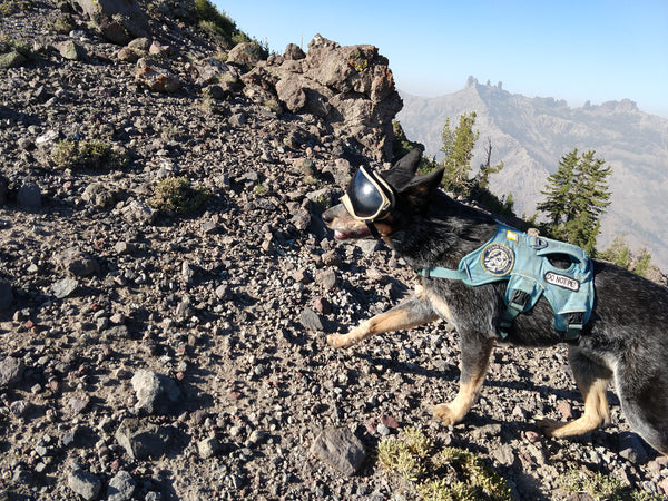 Rogue Detection Conservation Dog Hiking with Rex Specs Dog Goggles
